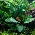 Anubias Coffeefolia Anubias Rhizome Live Aquarium Plants