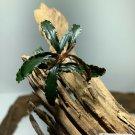 Bucephalandra Buce Mystery Rhizomes Live Aquarium Plant