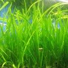 5 Jungle Val Italian val vallisneria Live Aquarium Plant