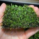 Fissidens Nobilis Moss Easy Live Aquarium Plants Aquatic Plants Aquarium Moss