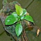 Anubias Barteri Round Leaf Live Fish Tank Aquarium Plants