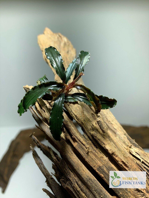 Bucephalandra Buce Various Rhizome Live Aquarium Plant