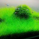 Dwarf Hair Grass Mini Clumps Eleocharis Parvula Clump Aquarium Plants