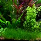 Dwarf Hair Grass Eleocharis Parvula Clumps Aquarium Plants