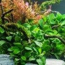 Anubias Barteri Easy Live Aquarium Plants Aquatic Plants