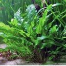 Cryptocoryne Wendtii Green Pot Crypt Live Aquarium Plants