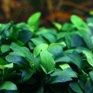 Anubias Nana Petite Loose Rhizome 6+ Leaves Live Aquarium Plants