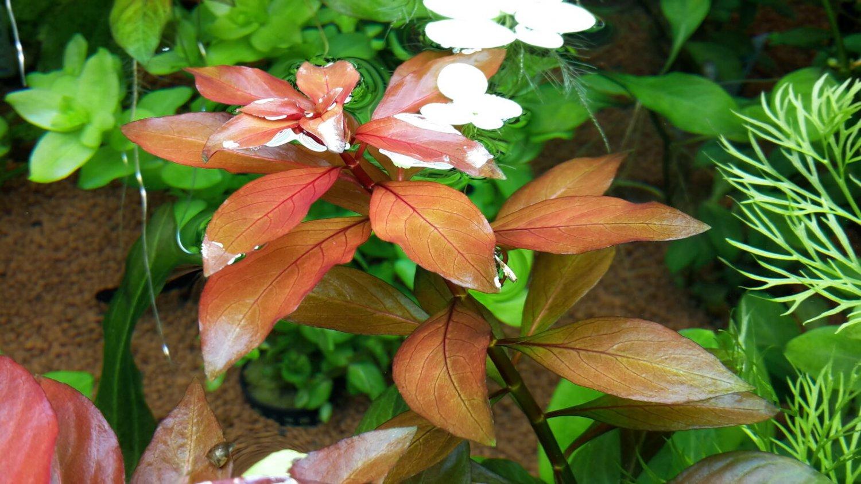 Ludwigia Repens Bunch Red Fresh Aquatic APF® Live Aquarium Plants