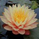 Nymphaea Mangkala Ubol Live Yellow Hardy Water Lily Tuber Rhizome