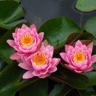 Nymphaea Fabiola Pink Hardy Water Lily Tuber Rhizome Seerose Plant