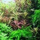Limnophila Hippuridoides Aromatica Bunch APF Live Aquarium Plants