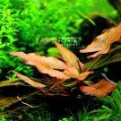 Nymphaea Rubra Bulb Dwarf Lily | Aquarium Plants Factory