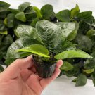 Anubias Barteri 'Butterfly' Pot Easy Rare Nana Freshwater Live Aquarium Plants