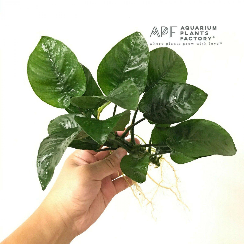 Anubias Butterfly Barteri Loose BIG HUGE Live Fresh APF Aquarium Plants Factory®
