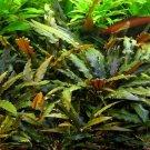Cryptocoryne Wendtii Brown Tissue Culture APF Fresh Live Aquarium Aquatic Plants