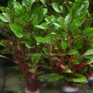 Alternanthera Bettzickian Bunch Red Ficoidea Live Aquarium Plants