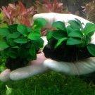 Anubias Nana 'Petite' on Driftwood Live Aquarium Freshwater Plants Moss ADA