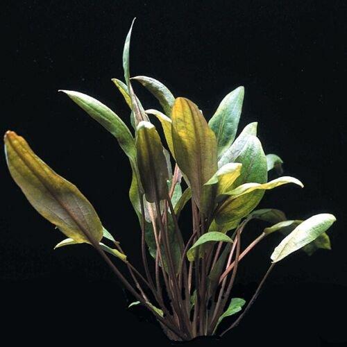 Cryptocoryne Mioya in Tissue Culture Live Aquarium Plants Crypt Tropica Brown