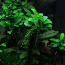 Anubias Nana 'Petite' on Driftwood Freshwater APF® Live Aquarium Plants
