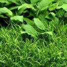 Micro Sword Tissue Culture Fresh Live Aquarium Plants Lilaeopsis Novaezelandiae