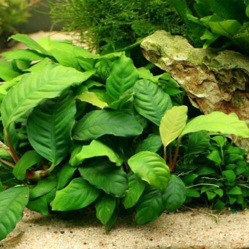 Anubias Coffeefolia Loose Rhizome Barteri Live Aquarium Plants