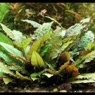 Cryptocoryne Wendtii Brown Bunch Crypt Fresh Live Aquarium Plants