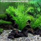 Anacharis Bunch Elodea Densa Aquatic Freshwater APF Aquarium Plants Factory