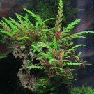 Hygrophila Pinnatifida Tissue Culture Cup TC Live Fresh Aquarium Plants Factory