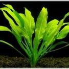 Amazon Sword - Echinodorus Bleheri Beginner Live Aquarium Plants