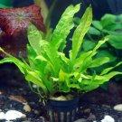 Java Fern Full Pot - Microsorum Pteropus Live Aquarium Plants