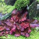 Red Tiger Lotus Bulb Wholesale   Nymphaea Zenkeri Aquarium Plants Factory