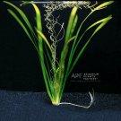 Vallisneria Gigantea Giant Jungle Val Bunch Grass Live Aquarium
