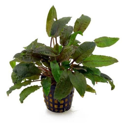Cryptocoryne Wendtii Tropica Brown Pot Crypt Live Aquarium Plants