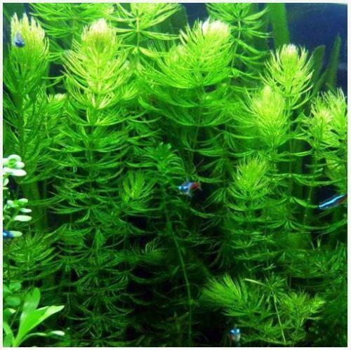 Hornwort Loose Fresh Cut Portion Ceratophyllum Live Aquarium Plant