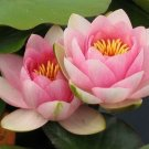 Nymphaea Madame Wilfron Gonnere Pink Hardy Water Lily Tuber Rhizome