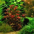 "Ludwigia Repens ""Rubin"" - Live Aquarium Freshwater Plants Java Moss Fern"