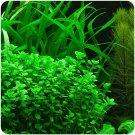 Bacopa Monnieri Moneywort Freshwater Live Aquarium Plants Bunch