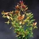 Ludwigia Repens Bunch Freshwater Live Decoration Aquarium Plants
