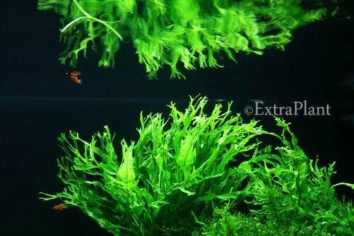 Microsorum Windelov Pot Lace Java Fern Live Aquatic Aquarium Plant