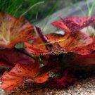 Red Tiger Lotus Bulb Only Nymphaea Zenkeri Live Aquarium Plants