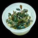 Bucephalandra Black Pearl | APF Tissue Culture Cup Aquarium Plants Factory