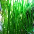 Jungle vals plants live aquarium plants aquascaping planted tank easy