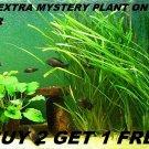 Vallisneria Jungle Val plants Fresh Live Aquarium Plants