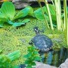 Duckweed indoor grown live organic aquarium