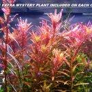 Rotala Rotundifolia RED Live Aquarium Plant Aquatic Plant