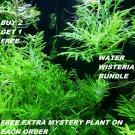 Hygrophila Difformis Bunch Water Wisteria Live Aquarium Plants