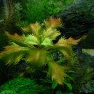 Proserpinaca Palustris Bunch Mermaid Weed Live Aquarium Plants