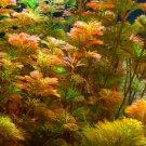 Red Cabomba Piauhyensis Furcata Fanwort Bunch Live Aquarium