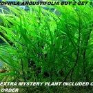 Hygrophila Angustifolia Fish Tank Plants Aquarium Plants Easy