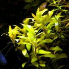 Nesaea pedicellata 'Golden' Bunch Aquatic Live Aquarium Plants